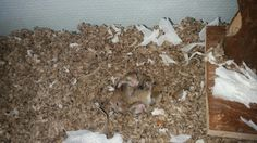 5 new robo pups cutest hamsters of all hamsters.