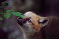 Fox Pup Sniffing Leaf - Sivertson.com