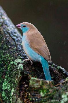 Red-cheeked cordon-bleu finch