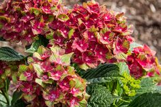 Hydrangea Mac Pistachio This Plant Is So Cool Variegated Blooms Of Green And Pink To Red Nice Shape A Must Have