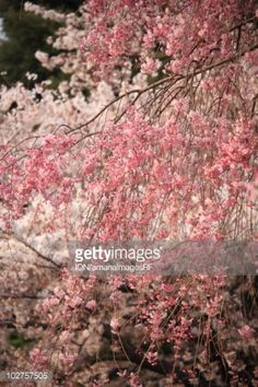 Stock Photo : Cherry flowers on branch, Tokyo prefecture, Japan