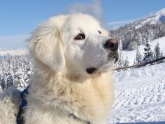 Desktop wallpapers Winter Slovak Cuvac dog - photos in high quality and resolution Top Dog Breeds, Large Dog Breeds, Large Dogs, Farm Animals, Cute Animals, Pet News, Dog Wallpaper, Great Pyrenees, Mountain Dogs