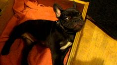 Frog Frenchie Fun French Bulldog Puppy Argues Bedtime!  awe!!