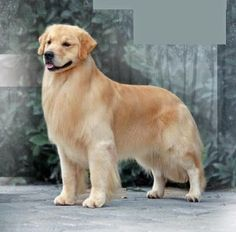 Just like humans, dogs want to be groomed and spoiled one or more times weekly. Dog grooming help keep your loved one happy and well-balanced. You could bring your furry friend with an expert groomers Perros Golden Retriever, Chien Golden Retriever, Golden Retrievers, Baby Animals, Cute Animals, Puppy Stages, Retriever Puppy, Cute Dogs And Puppies, Beautiful Dogs