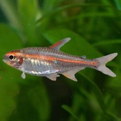 Meet: The Glowlight Tetra. This freshwater fish that has an orange band that runs the length of their body which glows in certain types of lighting.