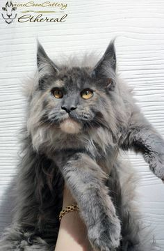 Trendy Funny Cats And Dogs Maine Coon Ideas Kittens Cutest, Cats And Kittens, Cute Cats, Kitten Baby, Maine Coon Kittens, Orange Tabby Cats, Dog Facts, Norwegian Forest Cat, Funny Cats And Dogs