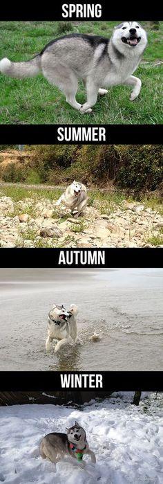 Crazy seasons with a Husky Dog