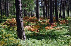 Atsalea-alueen värimaailma on pääasiassa keltaista ja oranssia Haagan Alppiruusupuistossa [Vladimir Pohtokari]