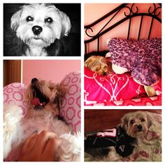 The best #morkie #dogs #cute