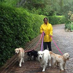 Oprah walking her beautiful menagerie of dogs. Looks pretty organized to me, even in the rain. Lucky dogs!