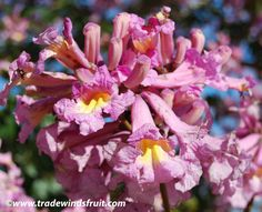 Pink Trumpet Tree - Tabebuia impetiginosa great for spring color