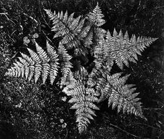Ansel Adams, Ferns in Glacier National Park Montana