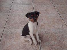 <3 Brazilian Terrier or FOX PAULISTINHA puppy  TRICOLOR VARIATION COLOR