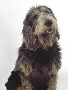 Griffon Nivernais- love these! Dog Breeds Chart, Guard Dog Breeds, Unique Dog Breeds, Popular Dog Breeds, Griffon Nivernais, Petit Basset Griffon Vendeen, Hunting Dogs, Basset Hound, Dogs Of The World