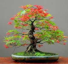 2017 New Mpale Tree Seeds 30 pcs/pack Maple Seeds Bonsai Blue Maple Tree Japanese Maple Seeds Balcony plants for home garden