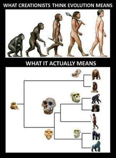 Here is a bad example of evolution evidence. This is an attempt to attack creationism. The two different photos here are non sequitur. That is, one involves humans, but the other has nothing to do with humans. Evolutionism teachers that humans have a ape-like ancestors just as the above picture describes, and then an unrelated picture which only details the evolution of apes is shown without reference to human beings. This meme doesn't even make sense.