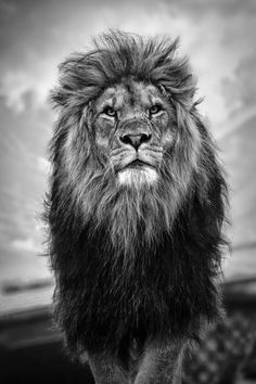 Lion - black and white by Takadk
