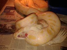 Let's eat  #snake #reptile #molurus #molurusalbino #snakekeeper #reptilelover #indonesia