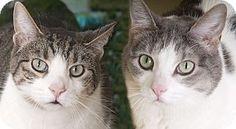 Chicago, IL - Domestic Shorthair. Meet Tiger