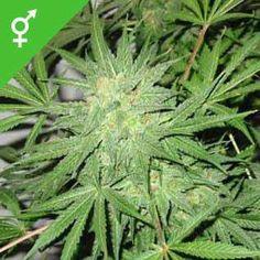 Buy Northern Lights x Big Bud cannabis seeds here! NL x Big Bud will grow massive harvests of dark green, heavy Indica buds laden with powerful THC crystals. Buy Edibles Online, Buy Weed Online, Weed Bong, Weed Recipes, Weed Seeds, Bud, Medical Marijuana, Northern Lights, Herbs