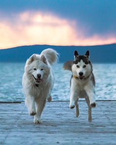 The Leading Authority on ALL Things Siberian Husky The Leading Authority on ALL Things Siberian Husky Siberian Huskies Malamute Husky, Siberian Husky Dog, Husky Puppy, Alaskan Malamute, Cute Dogs Images, Cute Dog Pictures, Funny Animal Pictures, Beautiful Dogs, Animals Beautiful