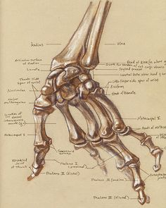 Hand skeleton from Life Drawing Class