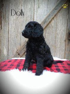 Wowauzer puppy - Welsh Terrier / Miniature Schnauzer mix  | I love