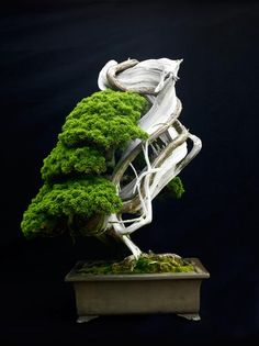 500 Years of Sargent Juniper Bonsai. I'm sure I saw this one in a book years ago. Amazing, and ancient.