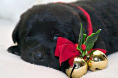 Christmas Puppy Wallpapers Phone