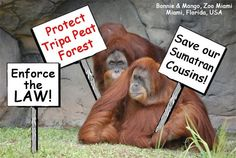 Supporters around the world are participating In International Day of Action demanding President SBY to uphold the law and save tripa last remaining orangutan population - Bonnie & Mango, Miami, FL, USA do their bit! endoftheicons.wordpress.com