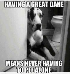 Great Dane memes - Google Search