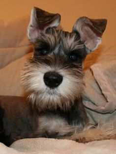 #Schnauzer ...Looks like my Quervo as a baby :)
