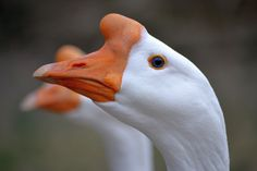 White Chinese Geese by mtsofan on DeviantArt