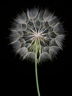 The really cool thing with this photo is that who ever took it, they stripped the seeds from half of the dandelion so you can see the center. The black background helps the details of the flower to stand out.: