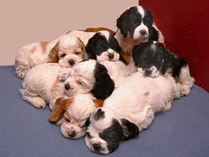 This page features the best Cocker Spaniel puppy pictures from the Zimmerlin family's 2004 litter. Adorable pictures of parti color Cocker Spaniel puppies! American Cocker Spaniel, Cocker Spaniel Puppies, Cute Puppies, Cute Dogs, Dogs And Puppies, Doggies, Spaniel Breeds, Dog Breeds, Baby Animals