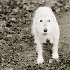 portraits de vieux animaux kelly chien irlandais 11 ans   Touchants portraits de vieux animaux   vieillissement portrait photographe oie mou...