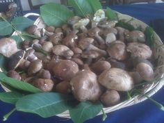 Fresh porcini mushrooms just picked