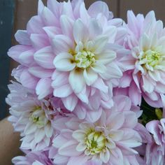 Charlotte Mae Charlotte, Dahlias, House Plants, Garden, Nature, Beautiful Flowers, Nice, Flowers, Home Plants