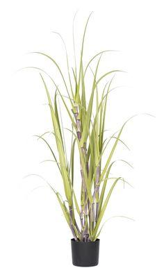Sugarcane Grass in Round Pot
