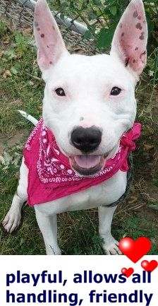 RETURN 06/26/16 BITE PPL --- SAFE 6/10/16 --- Manhattan Center PAIGE – A1074126 SPAYED FEMALE, WHITE / BROWN, PIT BULL MIX, 10 mos STRAY – STRAY WAIT, NO HOLD Reason STRAY Intake condition EXAM REQ Intake Date 05/17/2016 http://nycdogs.urgentpodr.org/2016/05/paige-a1074126-2/