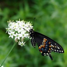 Garlic Chives flowers providing nectar to Swallowtail Butterfly.