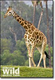 I love Giraffes.  They are so beautiful.