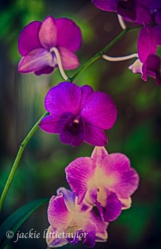 purple pink white orchid dark green background HDR Fine Art Photography _O5W7242_HDR