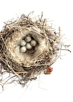 hardonneret élégant bird nest with eggs  STILL (mary jo hoffman)