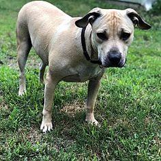 Dallas, GA - Pit Bull Terrier. Meet Gypsy a Dog for Adoption.