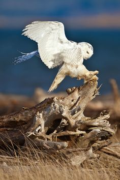 Snowy Owl (Nyctea scandiaca) hopping higher on a stump during a winter irruption year (change in food patterns resulting in, here, more southern migration), on the beach of Damon Point State Park, @ Grays Harbor near Ocean Shores, Washington, USA by Lee Rentz