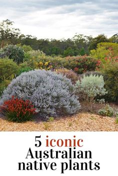 Native Australian plants are drought tolerant and and very low maintenance.Native Australian plants are drought tolerant and and very low maintenance. Find out which of these five iconic Australian native species are ideal Australian Garden Design, Australian Native Garden, Australian Native Flowers, Australian Plants, Bush Garden, Short Plants, Drought Tolerant Landscape, Native Australians, Coastal Gardens