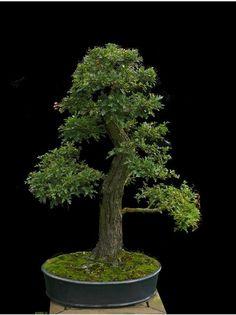 bonsai fruits