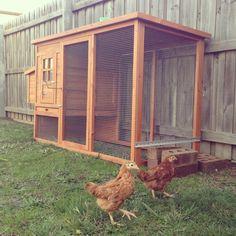 Kid friendly pets - Isa brown hens 8 weeks old