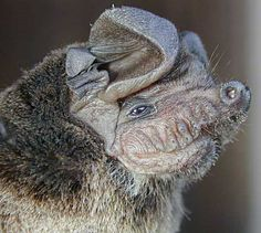 The wrinkle-lipped free-tailed bat (Chaerephon plicata) is a species of bat in the family Molossidae.